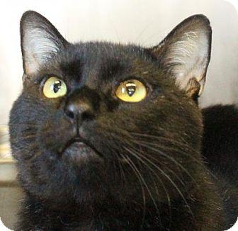 Polydactyl/Hemingway Cat for adoption in Waynesboro, Pennsylvania - Speck