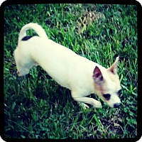 Chihuahua Mix Dog for adoption in Grand Bay, Alabama - Cora