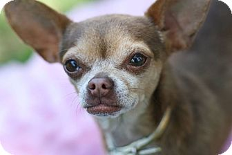 Chihuahua Mix Dog for adoption in Studio City, California - Raquel