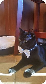 Domestic Shorthair Cat for adoption in Bridgewater, New Jersey - IZZY