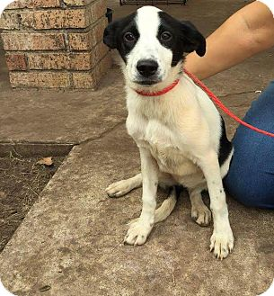 Australian Cattle Dog/Shepherd (Unknown Type) Mix Puppy for adoption in Mesa, Arizona - PATSY