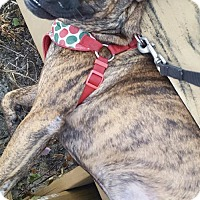 Catahoula Leopard Dog Mix Dog for adoption in Fort Pierce, Florida - Woo Woo