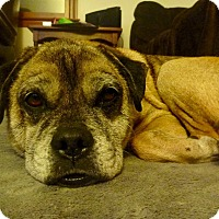 Adopt A Pet :: Foxx in CT - Manchester, CT