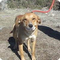 Adopt A Pet :: Cricket - Ridgway, CO