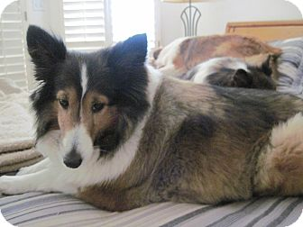 Sheltie, Shetland Sheepdog Dog for adoption in apache junction, Arizona - Princess