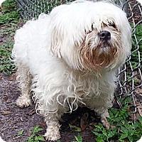 Adopt A Pet :: Roxy White - Orlando, FL