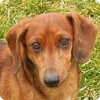 Adopt A Pet :: Lance - Mtn Grove, MO