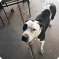 Adopt A Pet :: JOY - Chandler, AZ