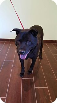 Chow Chow Mix Dog for adoption in Sonora, California - Slick