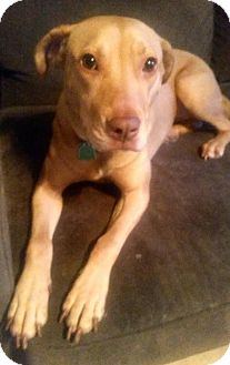 Labrador Retriever Mix Dog for adoption in Olive Branch, Mississippi - Lucy