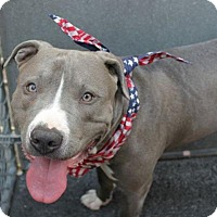 American Pit Bull Terrier Mix Dog for adoption in Ridgefield, Connecticut - Blue