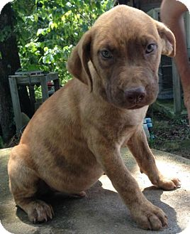 Labrador Retriever/Boxer Mix Puppy for adoption in Hartford, Connecticut - Jasper