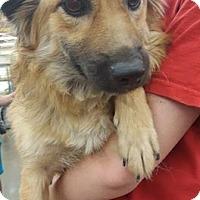 Adopt A Pet :: Amber - Fresno, CA