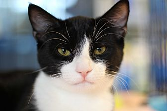 Domestic Shorthair Kitten for adoption in Marietta, Georgia - Kiwi