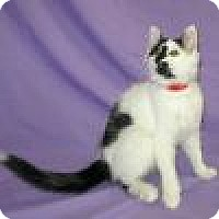 Adopt A Pet :: Domino - Powell, OH