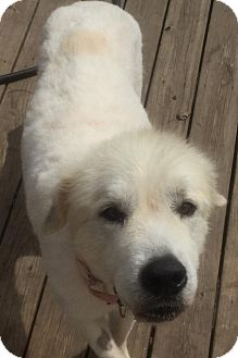 Great Pyrenees Dog for adoption in Livonia, Michigan - Endora