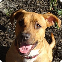 Adopt A Pet :: Shortie - Delaware, OH