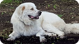 Great Pyrenees Mix Dog for adoption in Kyle, Texas - Comet Ward LGD