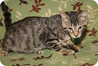 Domestic Shorthair Cat for adoption in Marietta, Ohio - O'Malley (Neutered)