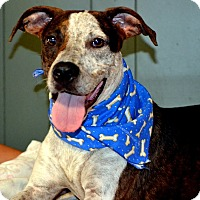 Cattle Dog Mix Dog for adoption in Okeechobee, Florida - Kipper