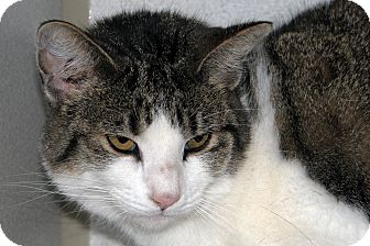 Domestic Shorthair Cat for adoption in Ruidoso, New Mexico - Rachel