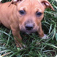 Adopt A Pet :: Apple  (ETAA) - Allentown, PA