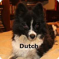 Adopt A Pet :: Dutch - Richmond, VA