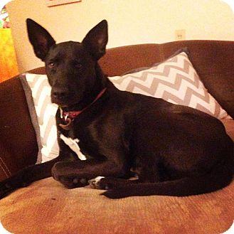 Shepherd (Unknown Type)/Belgian Malinois Mix Dog for adoption in Bonner Springs, Kansas - Dina