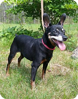 Miniature Pinscher Dog for adoption in Canterbury, Connecticut - Little Bit