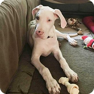 Great Dane Puppy for adoption in Stevens Point, Wisconsin - Angel