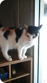 Calico Cat for adoption in Golsboro, North Carolina - MILEY
