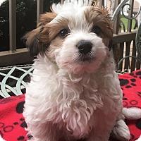 Adopt A Pet :: Nutmeg - Santa Ana, CA