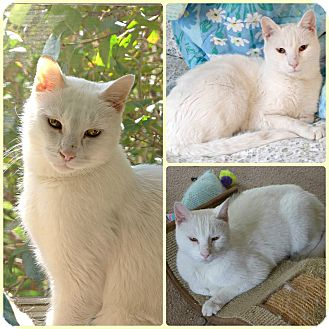 Domestic Shorthair Cat for adoption in Spring Brook, New York - Ridley