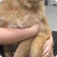 Adopt A Pet :: Gold Ret puppy - Lincolnton, NC