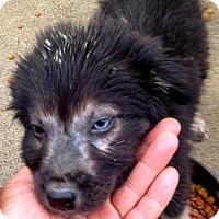 Adopt A Pet :: Sherman Shaggy Compton Puppy - Corona, CA