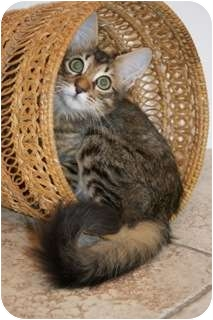 Maine Coon Kitten for adoption in Orlando, Florida - Myles
