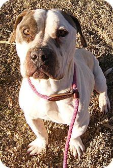 Basset Hound/American Bulldog Mix Dog for adoption in Alamogordo, New Mexico - Charly