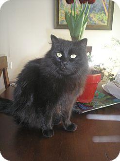 Domestic Longhair Cat for adoption in Laguna Woods, California - Adorable Sam