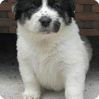 Adopt A Pet :: Zinnia - Austin, TX