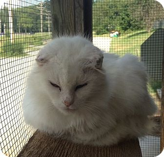Domestic Mediumhair Cat for adoption in Greensburg, Pennsylvania - Elsa
