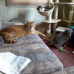 Photo 2 - Domestic Shorthair Kitten for adoption in Saint Albans, West Virginia - Morris