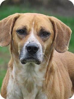 Boxer/Hound (Unknown Type) Mix Dog for adoption in Richmond, Virginia - Timber