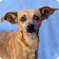 Adopt A Pet :: Dodger - Encinitas, CA