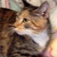 Domestic Shorthair Cat for adoption in Porter, Texas - Adele