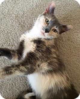 Domestic Shorthair Cat for adoption in Huntley, Illinois - Jubilee