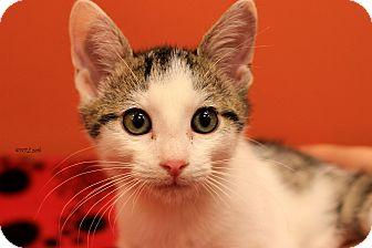 Domestic Shorthair Kitten for adoption in Flushing, Michigan - Clark