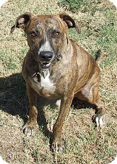 Labrador Retriever/Pit Bull Terrier Mix Dog for adoption in Watauga, Texas - Dozer