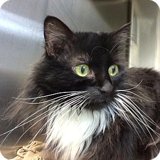 Domestic Mediumhair Cat for adoption in Fairfax, Virginia - Mini Moo