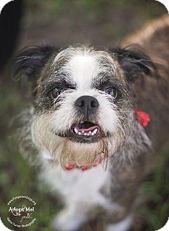 Boston Terrier/Border Terrier Mix Dog for adoption in Houston, Texas - Shady