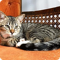 Domestic Shorthair Kitten for adoption in Nolensville, Tennessee - Polly